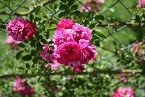 Cherokee Rose 1