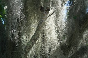7-11 Spanish Moss Closeup 2