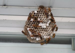 7-20 Big Wasp Nest 2