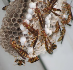 7-20 Big Wasp Nest up on the Side Walk Roof